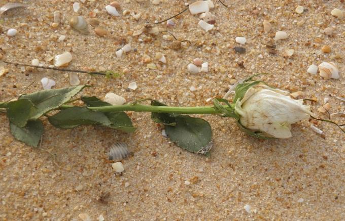rose-1226966