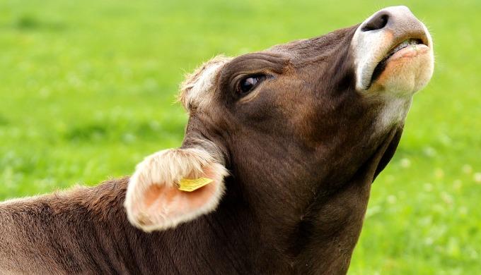 cow-3089207_1280