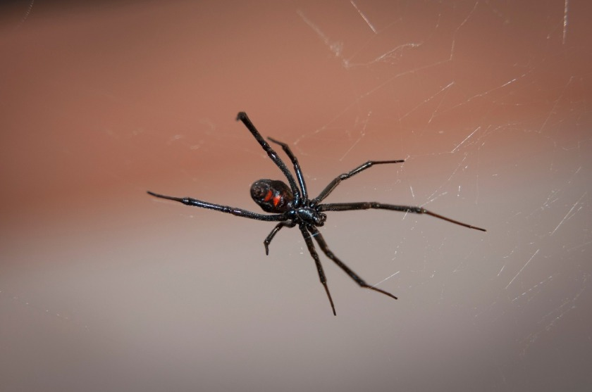 black-widow-spider-2042047_1280